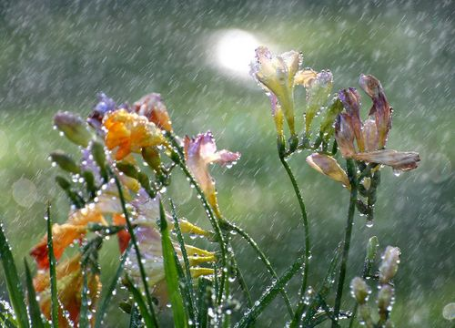 Freesia in the Rain